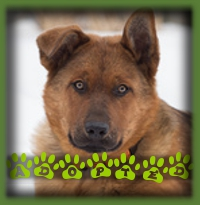 Lincoln is a 4mth old Chow/German Shepherd puppy that has been adopted by his foster family. We knew when we dropped him off that there was very little chance of him going up for adoption. It was love at first sight for his foster family and he was just what they needed after the sad passing of their beloved dog a few months prior. Puppy love has healing powers!