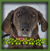 Dixie found a family in Milton who knew exactly what a Plott Hound was and what the breed requires to be fulfilled. Dixie will have kids to share her home with and give her all the cuddles and hugs she desires. She has a fenced yard for daily sniffs and a dad who plans to run with her. She will love that! We just need to convince the cat that she′s a welcome family member now.
