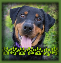 Argo had no troubles finding a forever home. His smiling face attracted a lot of interest. Argo will be living in the countryside close to Drumbo with a couple and their female Rottweiler who will be his best friend. The dogs really got along and she likes to play as much as he does. Perfect match!