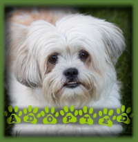 Georgia is a Lhasa Apso who never made it to general adoptions because we had a lovely woman waiting for a small, non shedding dog to come along and Georgia suited everything she was looking for...and is super cute to seal the deal! Georgia now calls Kitchener home and has a devoted mom to care for her.