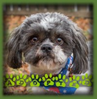 Popeye is a 8-10mth old ShihTzu who never made the website as we had a wonderful woman eagerly waiting for a dog exactly like him to complete her home. It is a very merry Christmas for both pup (now named Rudy) and his new mom this year. They adore each other!