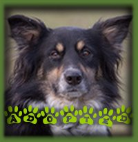 Eve wasn′t with us long at all when she found her forever home with a woman in Kitchener looking for her first dog. Eve was such an easy dog to live with that we knew she would be a great fit, and her new mom just loves Border Collies so it was a perfect match. Eve is called River now.