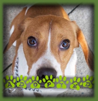 Ollie found his forever family in London and has a Beagle sister who he adores.