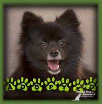 This adorable Pomeranian was adopted by a couple who saw him posted as a stray and contacted us immediately when they heard he went to rescue. They were the ideal family for Cash so after some good foster care and full vetting off to Ennismore he went to have his happily ever after.