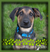 Curtis found his forever home before officially being up for adoption. We had a loving couple very interested in the litter of pups and Curtis was the perfect personality fit for them. He′s called Bennie now and has his forever home in Woodstock.