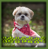 Beatrice was exactly what a retired couple in Burlington were looking for after the passing of their beloved Shih Tzu dog. They have always had ShihTzu′s and fell in love with Bea right away. Bea will winter in Florida and summer at the cottage. Lucky dog!