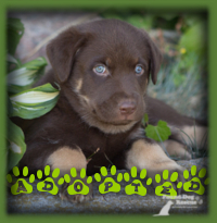 Timber attracted all kinds of attention with his chocolate brown coat and blue eyes...a real stunner. He was a sure pick for his excited family from Paris. They knew from the start that he was the one and he ended up with the right temperament to fit nicely into this forever family.