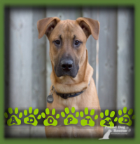 Nolan found a wonderful family in Kitchener who were looking for a young Mastiff or Great Dane and found the best of both in Nolan. He′s going to be greatly loved in his new family.