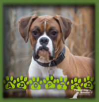 Fletch found an ideal home in London with a couple who were looking for another Boxer after the passing of their previous beloved Boxer. They had worked through the exact same confidence building with their dog that Fletch needs and we were all confident that they could bring out the best in him. He is named Bentley now and has a Bulldog sister to mentor off of.