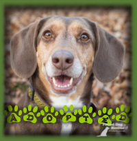 Carly found her perfect home in Chatham with a wonderful, active, retired woman who was specifically looking for a Beagle to be a daily hiking companion and best friend. It was love at first sight for both and we knew we wouldn′t find a better match. Carly is called Nutmeg now.