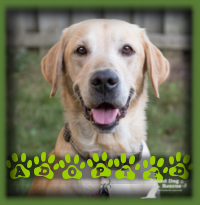 Harrison the Lab/Golden mix never even made it up to the adoption pages. He was the pick of an approved applicant couple who were waiting for a Lab type dog to love. He is called Murphy now and is enjoying the country life in his new home in Jerseyville.