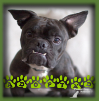 Yoda was extremely popular but a lucky couple in London were quick to apply and were a perfect fit for our sweet Frenchie X boy. He was exactly what they were looking for and an immediate bond was made when they met him. Yoda is their only pet and will love all the attention he gets.