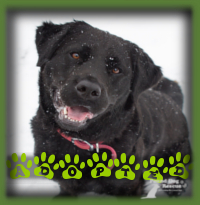 Rey found her forever home in Scarborough with a woman and her teen son who were looking for a Retriever type dog to join their family. They have a lot of experience with Retrievers and were wanting the energy and fun that comes with these goofy dogs. Rey will keep them entertained, that′s for sure.
