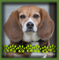Roscoe, our senior Beagle who needed expensive cruciate surgery, fully recovered and found an amazing home with a young couple with a fondness for Beagle′s who were looking for a senior dog. Couldn′t ask for a better match!