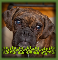 Being blind didn′t hold Leah back from a perfect forever home. She has a great family now with a visually impaired Boxer brother to be her forever buddy.