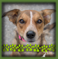 Piper was selected by a family we had waiting for the ideal dog to come along. They were patient and patience pays off. Piper is a lovely Sheltie/Aust Cattle Dog mix that suited their needs and the whole family adored her. She is living in Toronto now.