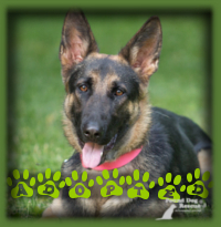 Danica is a beautiful 1yr old German Shepherd that spent very little time in our rescue as we had a young couple actively looking for a young German Shepherd to join their family. Danica is now called Adelaide, (Addi for short) and is loving life in Kitchener with her new family.