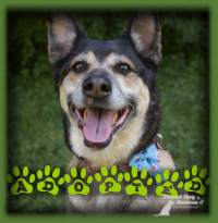 Brynlee is a German Shepherd/ Aust. Cattle Dog who was the ideal fit for a family who had been searching for an affectionate dog who could accompany them camping and on travels. Brynlee lives in London now and is enjoying a large yard and plenty of attention and love.