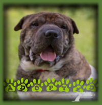 We needed a very specific family for Bogey as SharPei are a unique breed with certain requirements. We found the perfect family who had SharPei experience and knew what to expect from this wonderful breed. They were charmed by his beautiful colouring and even more beautiful personality and it was clear to all on the meet that Bogey chose them as well.