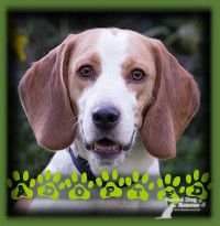 Denny found his forever home in Waterloo with a couple who had a beloved Beagle previously and were searching for another Beagle to love. Denny caught their eye and he charmed them with his cuddly ways when they met and it was a great match all around.