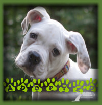 Dewey found his forever home in Kitchener with a couple who were looking specifically for an American Bulldog and had a lot of experience with powerful dogs. Dewey was everything they hoped for and then some.