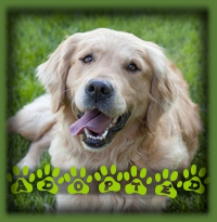 This Beautiful girl is Belle and she has been adopted to a family in Cambridge who were on the look out for a sweet natured Golden Retriever to add to their family. Belle never even made it to the website as we knew her forever family would fall for her!