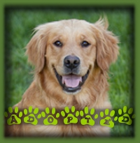 Mallory was immediately snapped up by a staff member at our vet′s who has been waiting so patiently for a sweet natured Golden to come our way. Mallory is called Ryder now and she is a much loved member of the family. She was definitely worth waiting for!