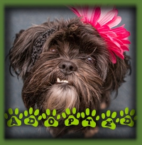 Dora was the perfect fit for a young couple looking for a good friend for their little boy Shih Tzu. She lives in St. Thomas now and will be a much loved family dog. Good for Dora!!!