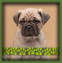 Windy was the perfect pick for her new mom and Pug brother. She has gone to her forever home in Mississauga and is impressing her mom by being such a good puppy. Her name is Jilly now to match her new brother Beans. Jilly and Beans, too cute!