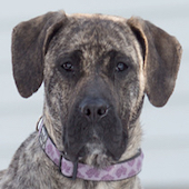 Meghan, a Pound Dog Rescue alumni dog.