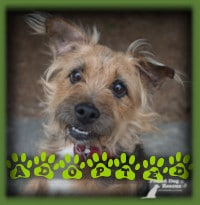 Alfie is a Norfolk Terrier who found his forever home in Kitchener before being posted for adoption. His new dad was looking for a small dog and Alfie was a great fit. Alfie is enjoying his new home and yard and all the attention he gets.