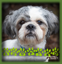 Bogart found his forever home in London with a family with kids and another ShihTzu for him to be best buddies with. The dogs have become immediate friends and Bogart is loving having a family to call his own who adore him and will always care for him. He′s a very lucky dog.