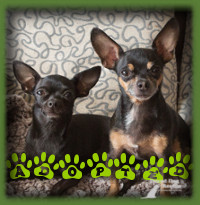 Poppy and Vernon found their forever home in Sarnia with a retired lady looking for a pair of small companions to care for. They love their new mom and their home with the big yard. They go on many adventures about town with their mom now and are happy little dogs.