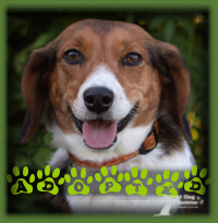 Duckie the lucky Beagle found a family to love her and give her the security of a forever home. Her family was missing a dog in the home after the passing of a beloved prior dog. Duckie has filled that hole with all of her cuteness and affection. She even gets to go to work! She has an Instagram page devoted to her called @duckthebeagle if you wish to follow her.