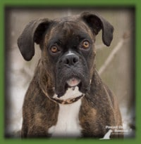 Glenn found his ideal home in Roslin, Ont with a family that had prior Boxers and loved the breed. They were looking for another Boxer after the passing of a beloved dog and came across Glenn. It was a love match and Glenn got the gift of a forever home for Christmas