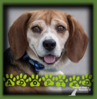 Ike found a wonderful home in Waterloo with a couple looking for their first dog. They had done their research and knew that a Beagle matched what they were looking for in a dog. They met Ike and knew that he was the Beagle for them. Ike is named Buster now and enjoys regular snuggles with his dad.