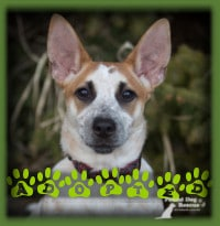 Cali is a 4mth old Aust. Cattle Dog puppy who we knew would be the perfect fit for a couple who previously adopted Patches and was looking for a buddy for him. Not only does Cali look like Patches but she matches him in energy, temperament and happiness! She has settled in great and is greatly loved by her family.
