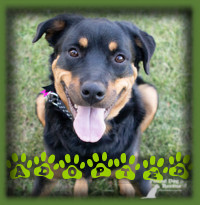 Leia, the Rottweiler who had to go through 2 knee surgeries while in rescue, found her forever home with a couple looking for a Rottweiler to join their family. They knew that Leia was perfect for them. They have a Rottie in the family and were hoping for a sweet dog just like him. They found this in Leia and it was a love match! Leia now enjoys a life of trail walks, doting attention and lots of love. And to top off her great news, she also just had her final xrays and has gotten clearance from the vet to live a normal doggie life now!! No more leash walking restrictions!