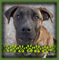 Onyx is a sweet natured, beautiful, 6mth old Mastiff/Lab mix who found herself in a rural pound with her sister Hazel. This pup has such a lovely nature and fit in so perfectly with her foster dog and cat family and her people family that her foster family couldn′t bear to part with her. We celebrate this
