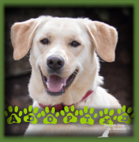 Owen found a Lab loving family in Cambridge to call his forever home. He had older kids to clown around with and is a very happy boy to have a family to call his own. Owen has been renamed Gallagher and is affectionately called Gally.