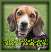 Patsy found her forever home in Hamilton with a couple who have always had Beagles and were looking for another one after the passing of a beloved dog. Patsy was everything they were looking for and she is enjoying a life of being spoiled, greatly loved, well exercised and having a big window to watch the squirrels from. Her idea of heaven on earth!