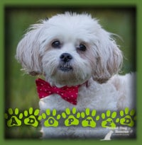 Priscilla the Lhasa Apso found her forever home with a wonderful couple in Belwood who were looking for a mature dog to share their love with. Priscilla was everything they were looking for and more. They have changed her name to Tammy to honour her foster mom who gave her such a great start.