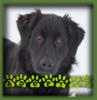 Samsan found his forever home with a young couple in Oshawa who were looking for their first dog together. Both had family dogs of his breed mix and knew all about the energy of a young Retriever. Samsan looks forward to summers at the cottage and regular outdoor fun.