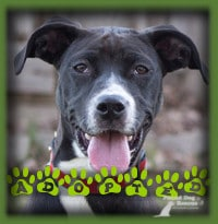 Sansa went to Woodstock to join a couple looking for a dog to join their family. They fell in love with Sansa and knew she was everything they were looking for. Sansa is enjoying lots of long walks, runs and doggie daycare playtime to keep this active dog busy.
