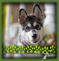 Storm attracted a lot of attention as she is so beautiful but we knew we needed to find the ideal family for her that could handle a confident Husky pup and provide her with the exercise and training a Husky needs to be happy. We found this ideal family that also happened to come with a happy Lab boy who is Storms very best friend and playmate. Storm is living her perfect life in a home with plenty of outdoor space, and loving people who are well experienced with the Husky breed.