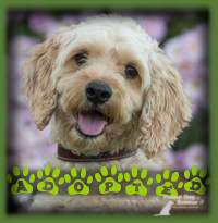 Toby found an amazing home in Waterloo with a couple who were specifically searching for a Cockapoo and had been waiting quite a while for the perfect dog for their family. Toby was everything they were hoping for and then some. Toby is loving all the attention and affection he is receiving and is a very happy boy.